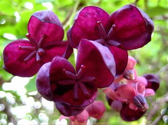 Purple Vine