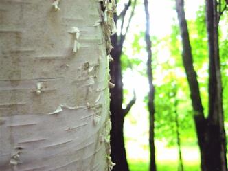 Birch zen