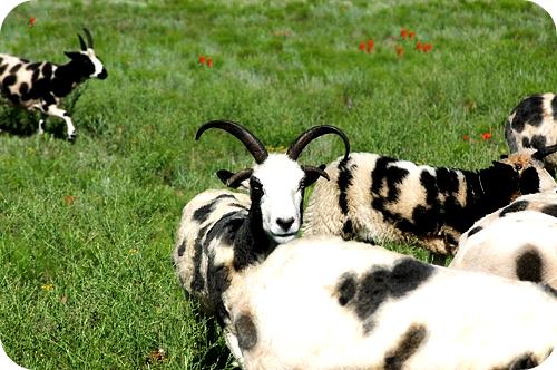 7.sheep