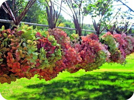 Hanginghydrangea