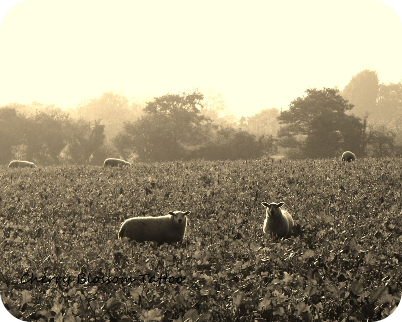 Sepia sheeps wm